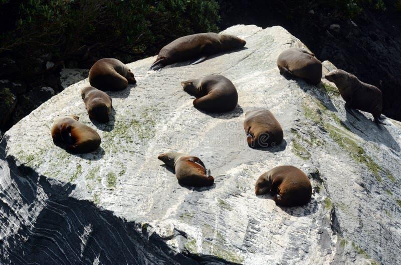 Fur seal - New Zealand wildlife NZ NZL royalty free stock photo
