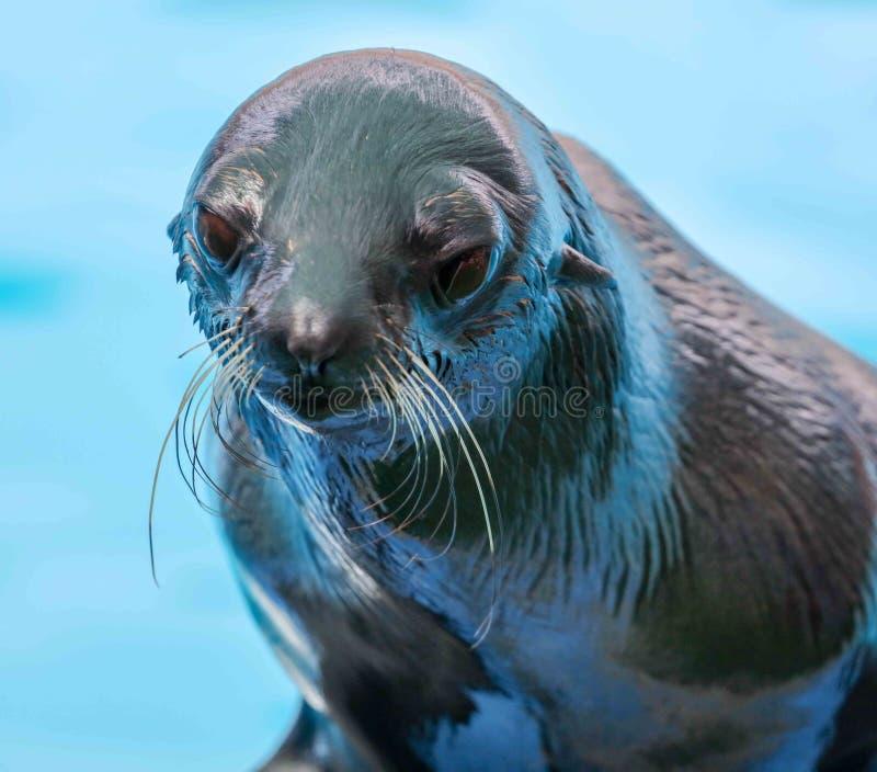 Fur seal portrait on nature stock images