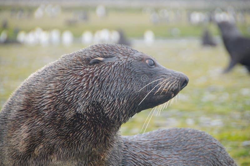 Fur Seals on South Georgia`s Salisbury Plains. Fur Seal on the Salisbury Plains area of South Georgia royalty free stock image
