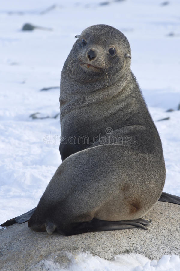 Download Fur Seal Sitting On A Rock On The Beach Antarctic Stock Image - Image of winter, seals: 42143559