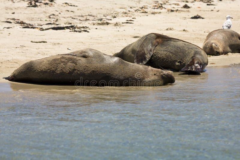 Fur seals stock photography