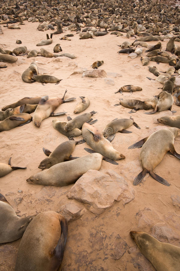 Download Fur Seals stock image. Image of nature, coast, atlantic - 18389513