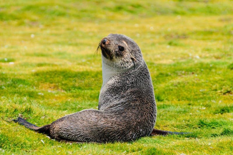 Fur Seals on Salisbury Plains, South Georgia. Fur Seals - Arctocephalus gazella - On the Salisbury Plains, South Georgia Island royalty free stock image
