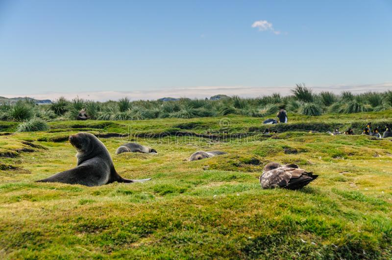 Fur Seals on Salisbury Plains, South Georgia stock image