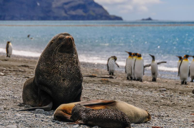 Fur Seals on Salisbury Plains, South Georgia stock photography