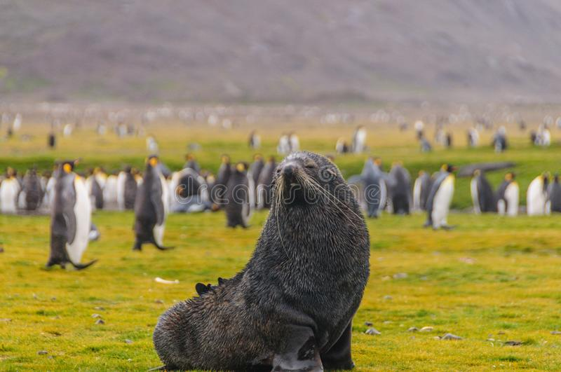 Fur Seals on Salisbury Plains, South Georgia stock photo