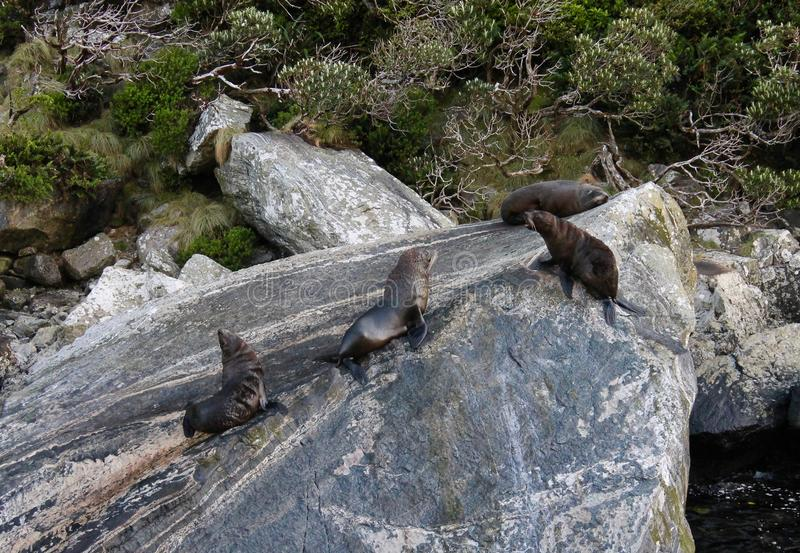 FUR SEALS DEFEND THEIR RESTING SPOTS ON A SEASIDE ROCK FORMATION. A territorial fur seal barks as another adult male moves too close. Shot in Milford Sound New royalty free stock image