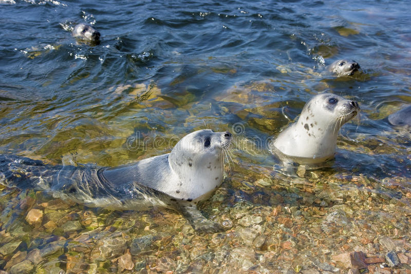 Download Fur seals in the nature stock photo. Image of wildlife - 14726270