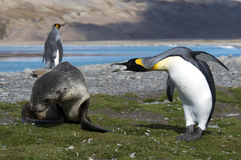 Fur seals with Penguin royalty free stock photo