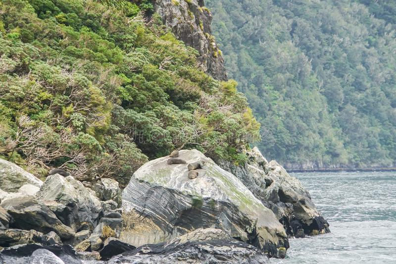 Fur seals on the rock at Milford Sound New zealand. Fur seals on the rock for rest at Milford Sound New zealand stock photography