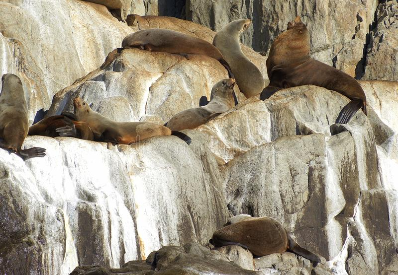 Fur Seals on Rocks. Thirty five species of seal inhabit the oceans of the world. They are found throughout the marine environment, from icy polar waters to the royalty free stock images