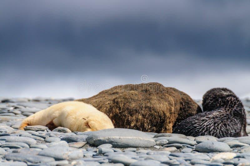 Fur Seals on Salisbury Plains, South Georgia. Fur Seals - Arctocephalus gazella - On the Salisbury Plains, South Georgia Island royalty free stock images