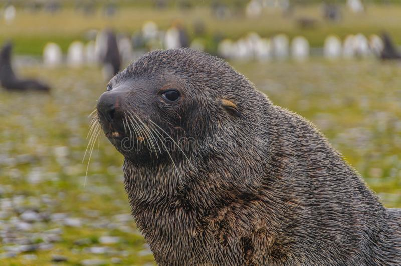 Fur Seals on Salisbury Plains, South Georgia. Fur Seals - Arctocephalus gazella - On the Salisbury Plains, South Georgia Island royalty free stock photos