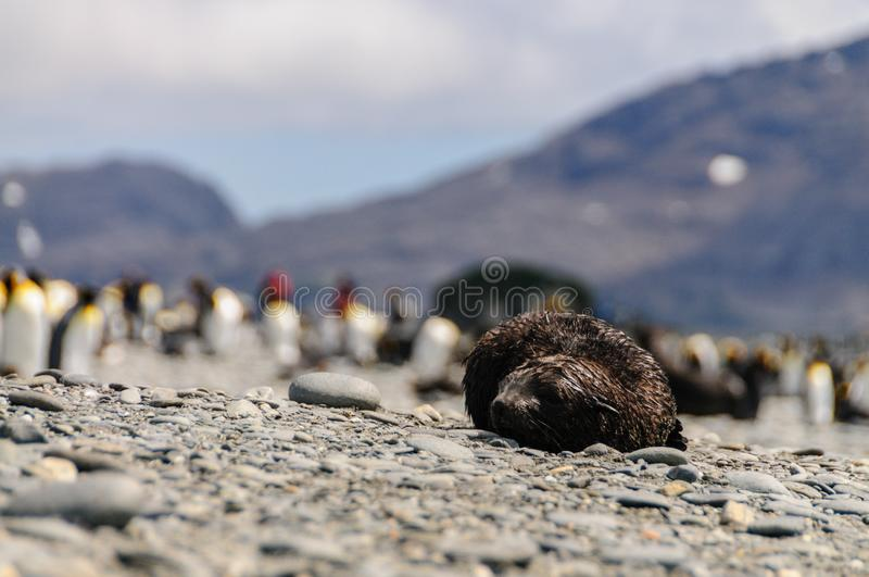 Fur Seals on Salisbury Plains, South Georgia stock photos