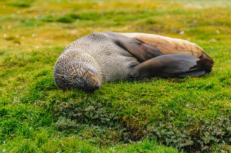Fur Seals on Salisbury Plains, South Georgia. Fur Seals - Arctocephalus gazella - On the Salisbury Plains, South Georgia Island royalty free stock photo
