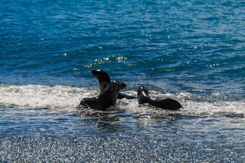 Fur Seals on Salisbury Plains, South Georgia. Fur Seals - Arctocephalus gazella - On the Salisbury Plains, South Georgia Island stock image