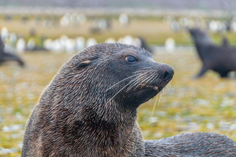 Fur Seals on Salisbury Plains, South Georgia royalty free stock photography