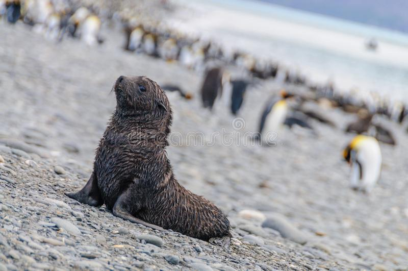 Fur Seals on Salisbury Plains, South Georgia stock photography