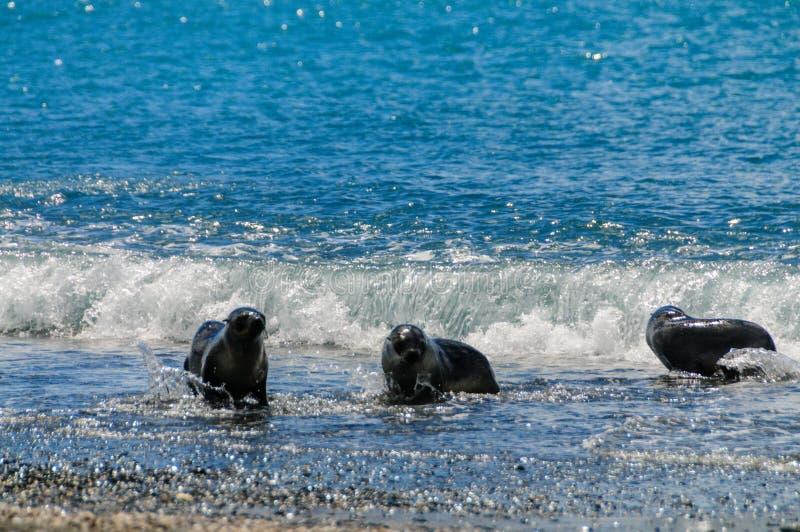 Fur Seals on Salisbury Plains, South Georgia. Fur Seals - Arctocephalus gazella - On the Salisbury Plains, South Georgia Island stock images