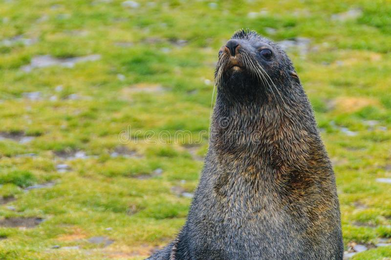 Fur Seals on Salisbury Plains, South Georgia. Fur Seals - Arctocephalus gazella - On the Salisbury Plains, South Georgia Island royalty free stock photography