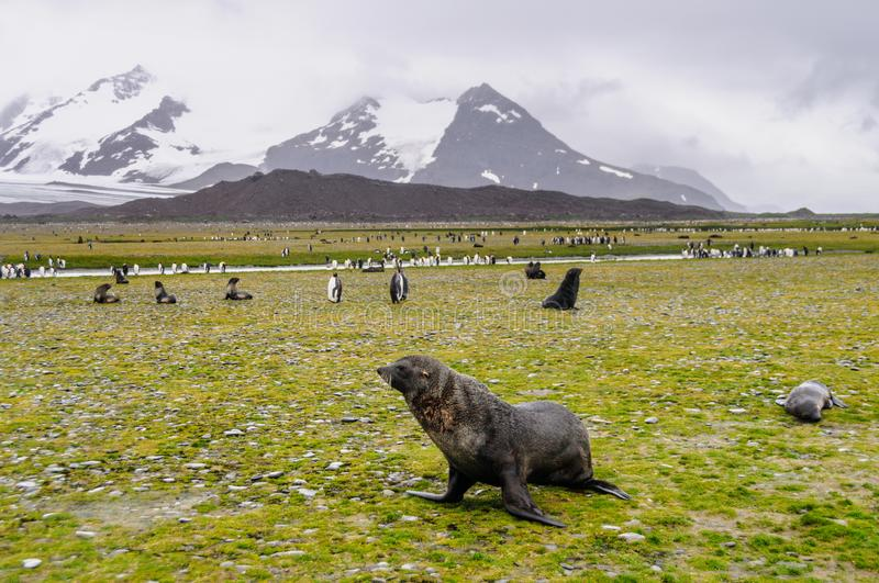 Fur Seals on Salisbury Plains, South Georgia royalty free stock image