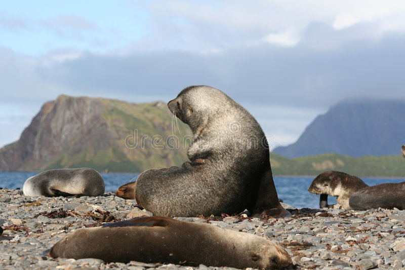 Download Fur Seals in the sun stock image. Image of wildlife, travel - 6482421