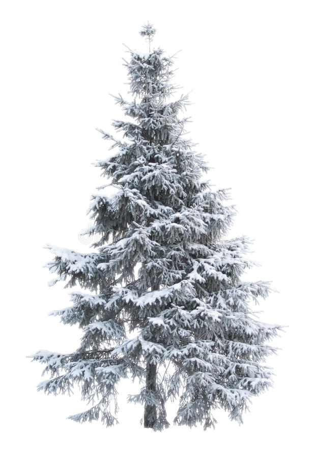 Fur-tree_01. Fur-tree on the white isolated background stock photo