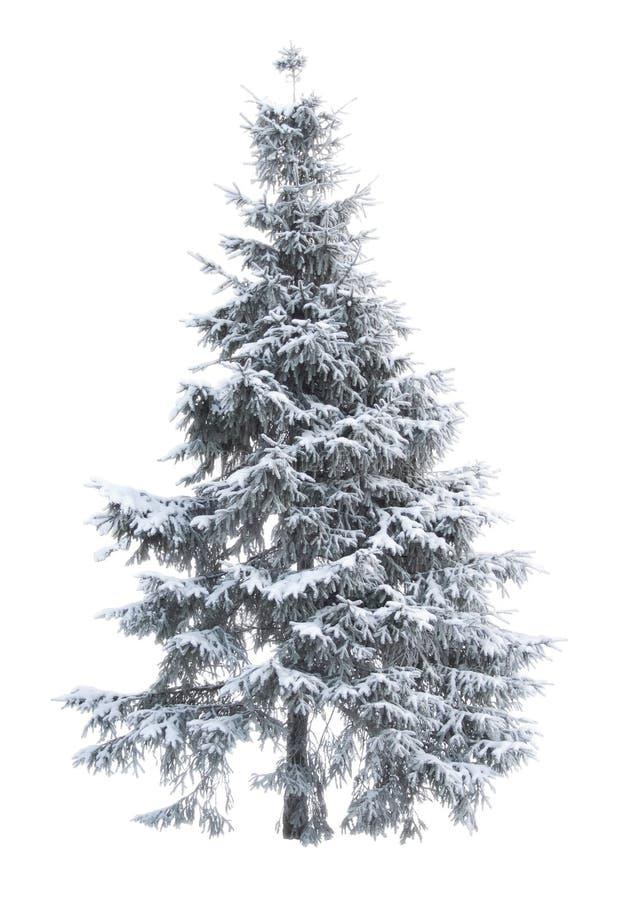 Fur-tree_01 foto de archivo