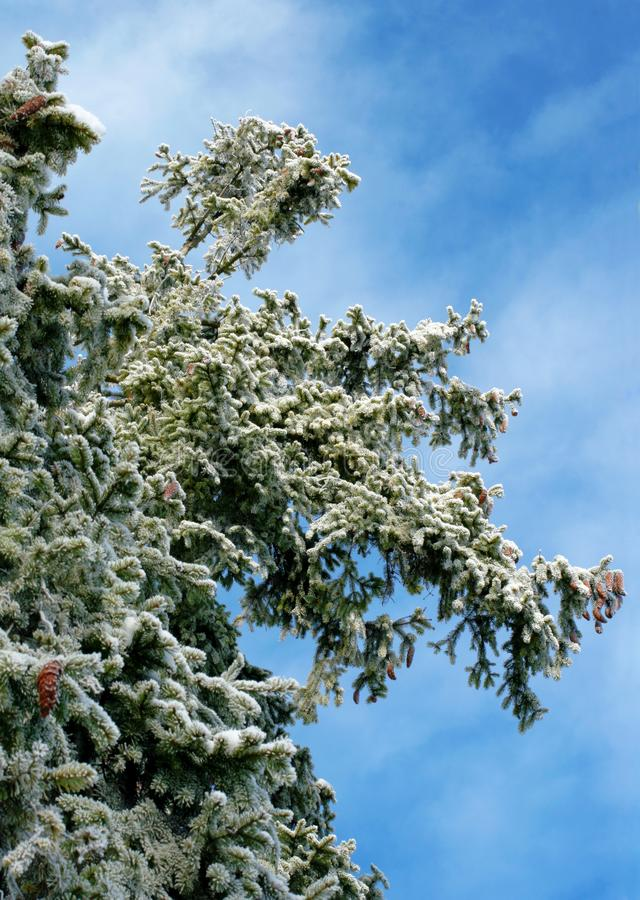 Download Fur-tree branches stock photo. Image of tree, caress, forest - 7849294