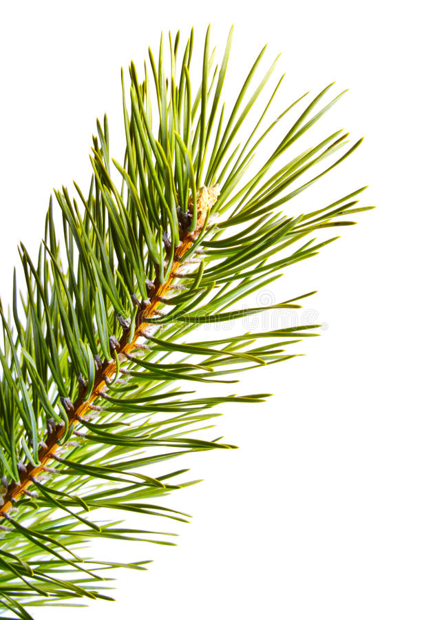 Download Fur-tree. Part Christmas-tree. Isolated Stock Image - Image: 17231483