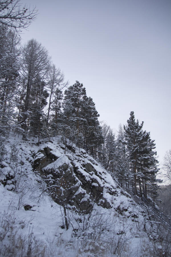 Fur-trees on a mountain slope stock photography