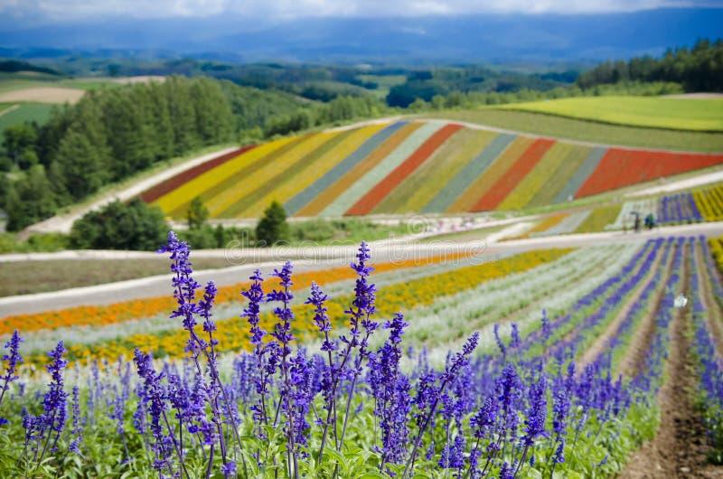 Furano-Lavendel lizenzfreie stockfotos