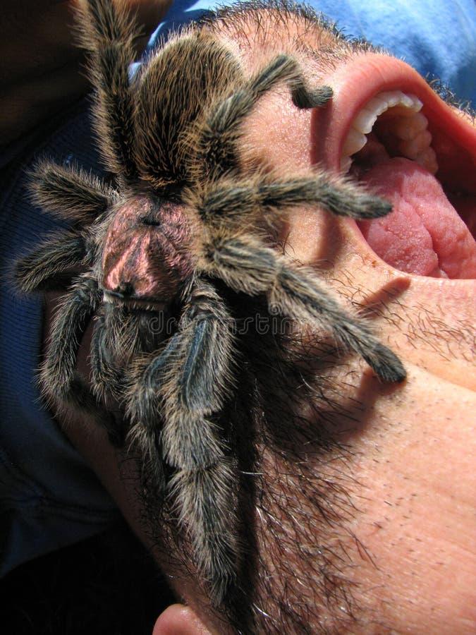 furchtsamer Tarantula auf schreiendem Gesicht lizenzfreie stockbilder