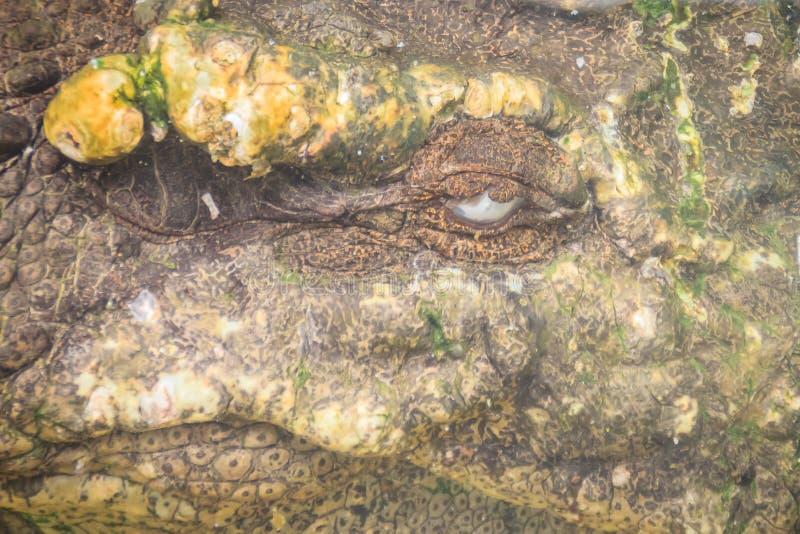 Furchtsames Salzwasser oder Leistenkrokodil (Crocodylus porosus) ist h lizenzfreie stockfotos