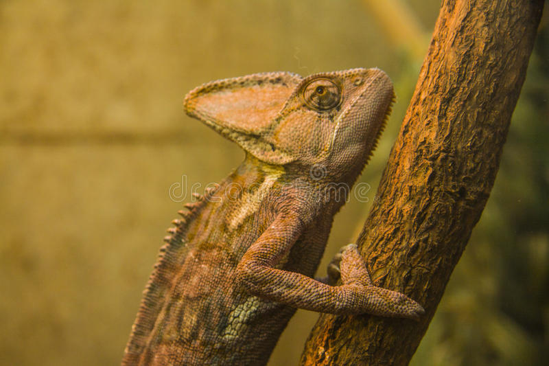 Furcifer pardalis. Veiled chameleon is walking on a tree branch royalty free stock images