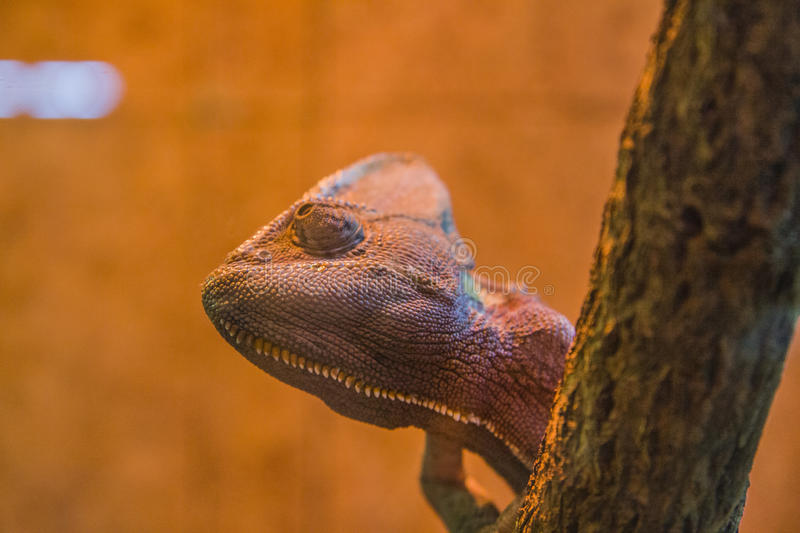 Furcifer pardalis. Veiled chameleon is walking on a tree branch royalty free stock image