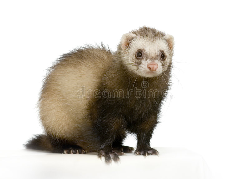 Furet photos stock