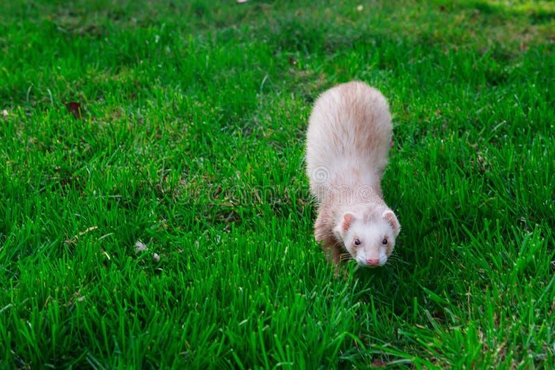 Furet beige appréciant la promenade libre sur l'herbe verte dans le jardin, parc Concept à la maison d'animal familier Foyer séle photographie stock