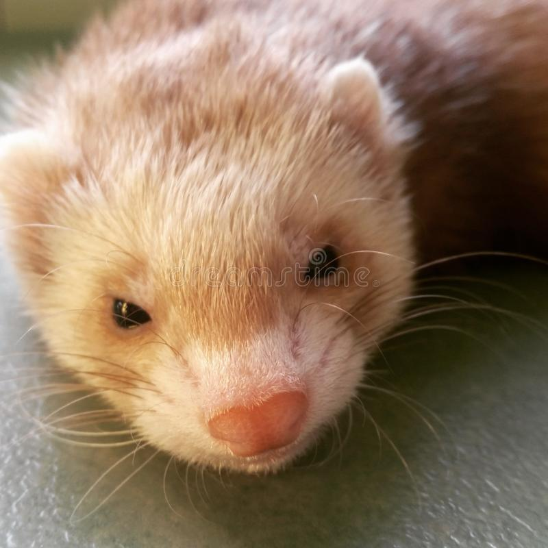 Furet blond avec un petit nez rose doux photographie stock