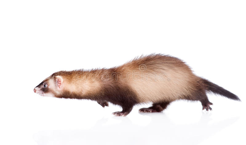 Furet courant D'isolement sur le fond blanc photographie stock