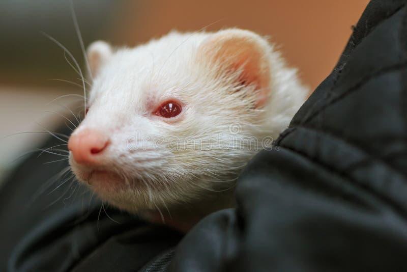 Furet d'animal familier albinos étant choyé dans le recouvrement photographie stock