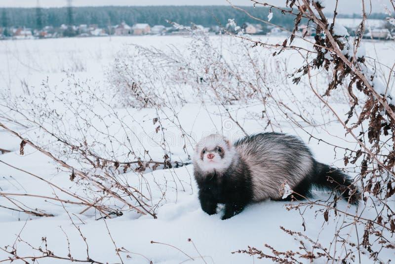 Furet dans la neige photos stock