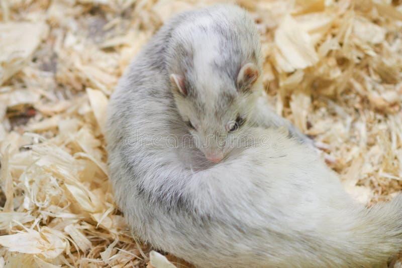 Furet gris-clair se trouvant sur la sciure en bois photos stock