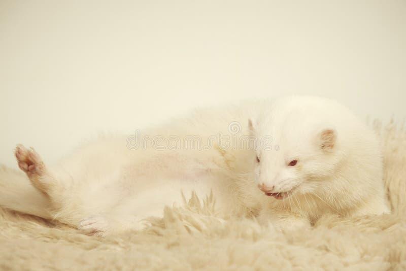 Furet masculin albinos posant pour le portrait sur la fourrure photos libres de droits
