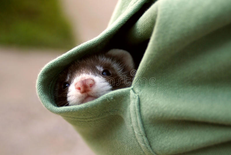 Furet se cachant dans la poche photo stock