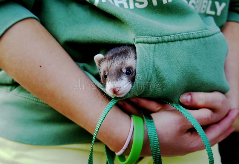 Furet se cachant dans la poche 2 photo stock