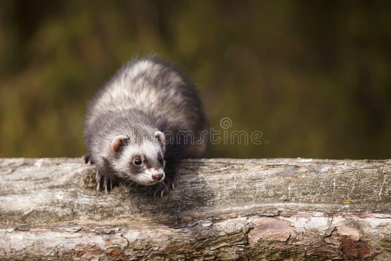 Furetto standard di colore che si siede sull'albero e che gode della loro passeggiata e gioco in parco fotografia stock libera da diritti