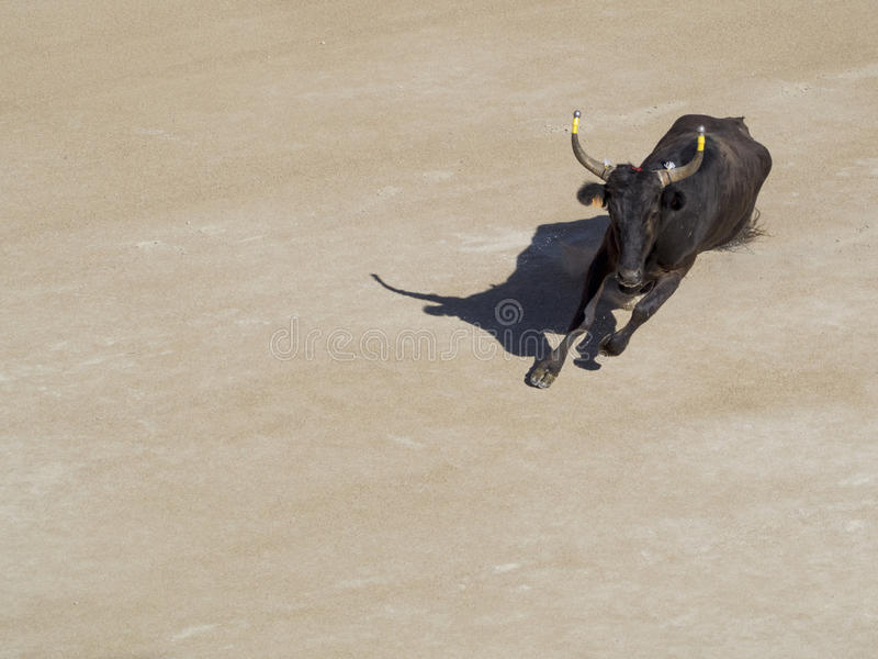 Furious bull in the arena royalty free stock photography