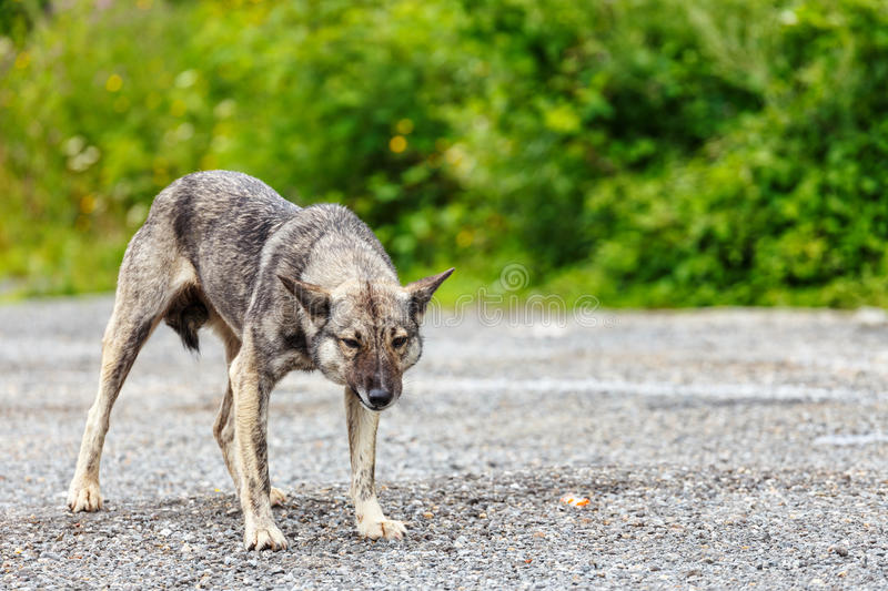 Furious dog. Portrait of big furious dog royalty free stock images
