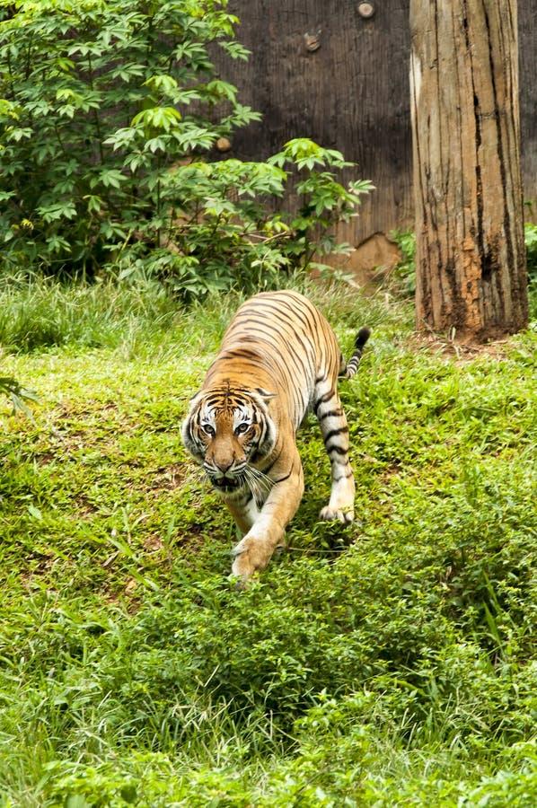 Furious Malayan Tiger. Chasing to camera stock images